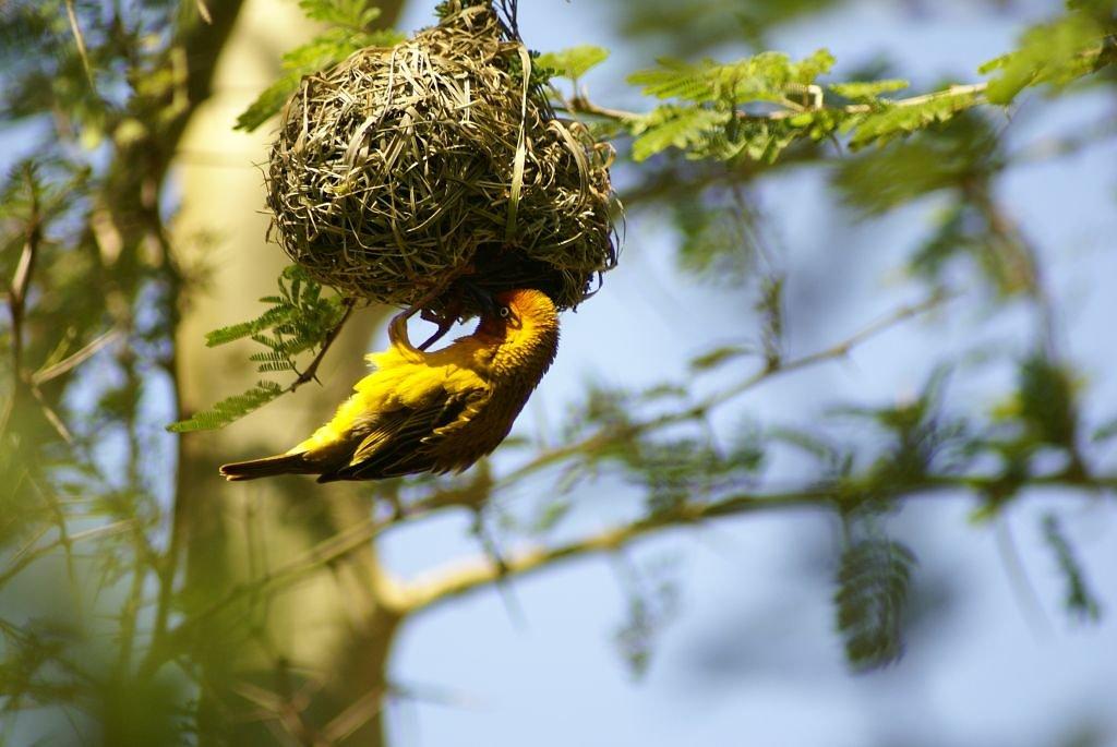 Webervogel mit dem typischen Nest