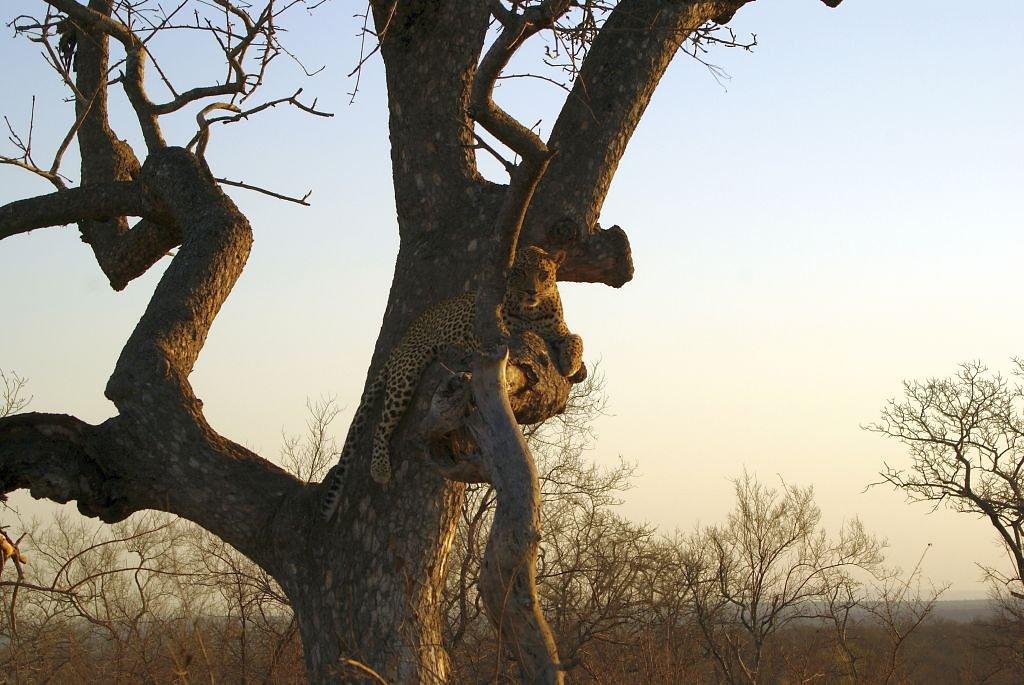 Der Klassiker - Leo im Baum