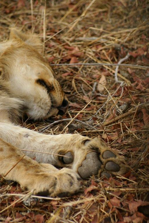 Löwen schlafen fast immer...