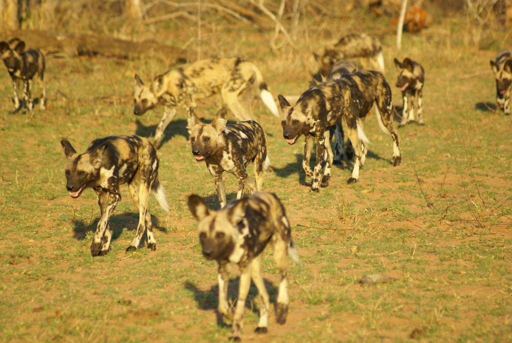 Eine Gang von Wildhunden