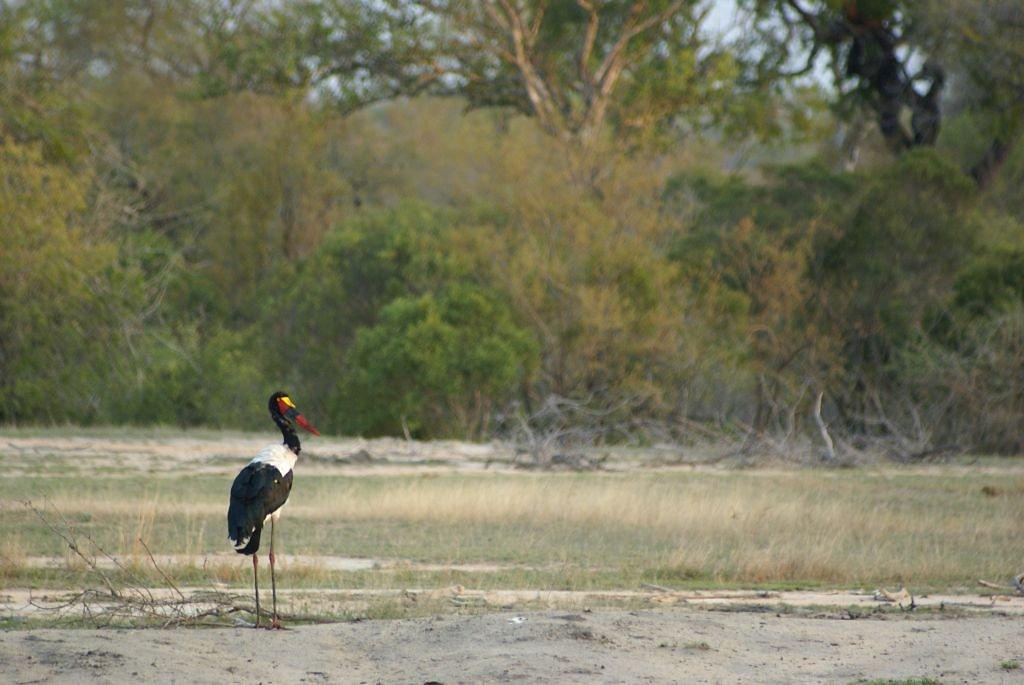 Afrikanischer Storch