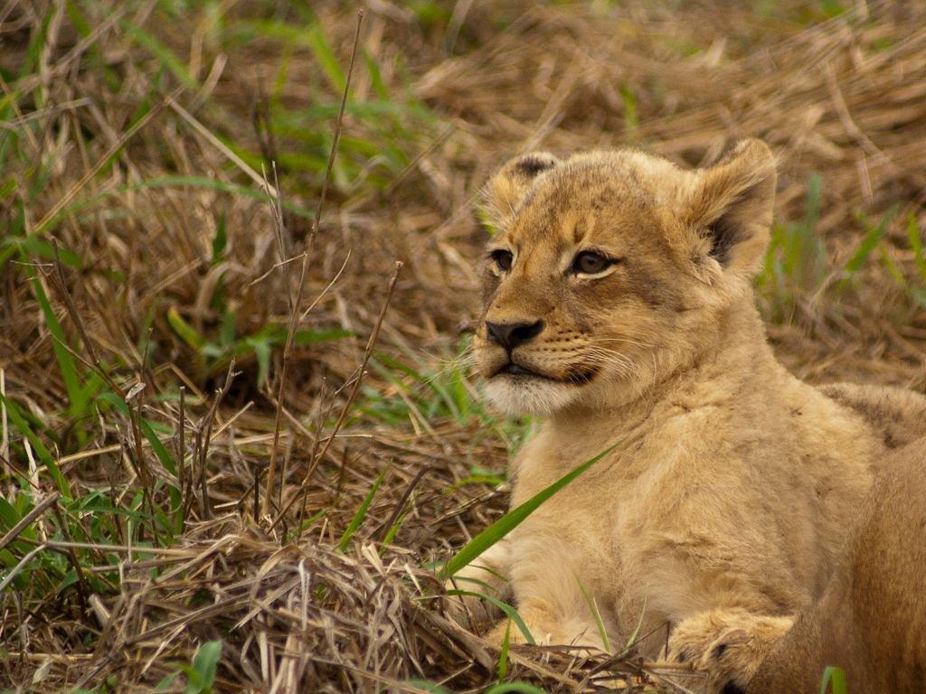 Kleine Löwen sind einfach nur süß!