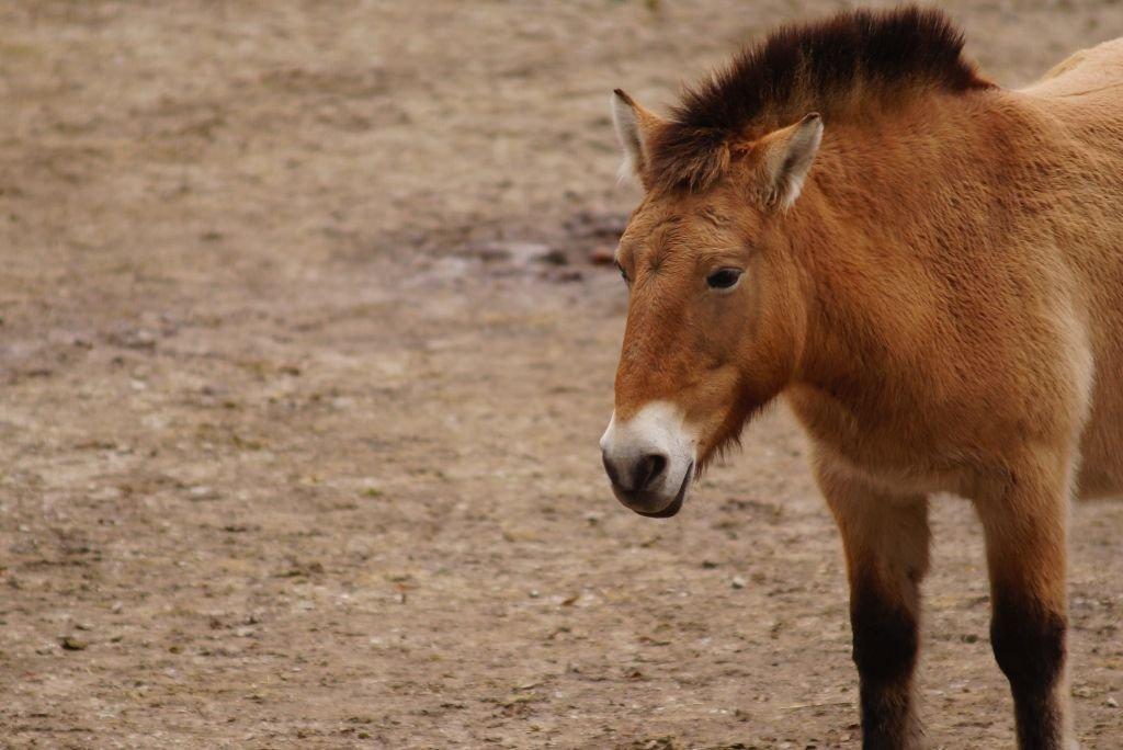 Przewalski Pferd - das Urpferd