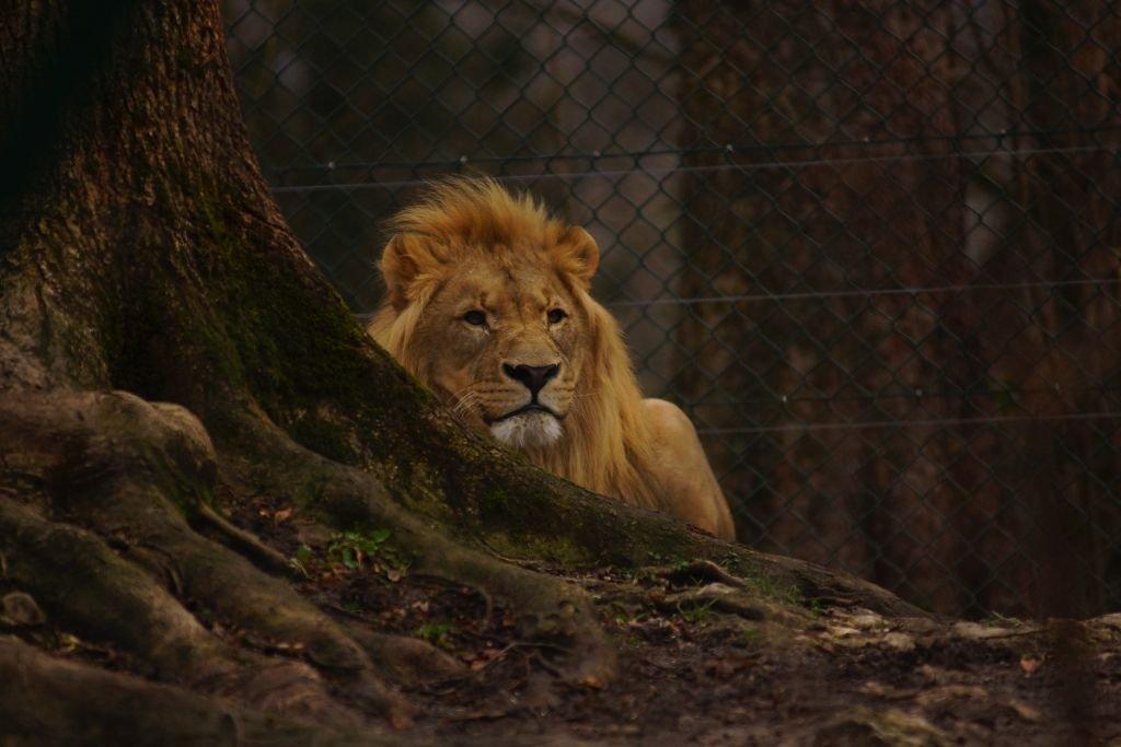 Eisi - Afrikanischer Löwe