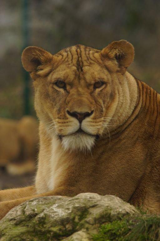 Nala - Afrikanische Löwin