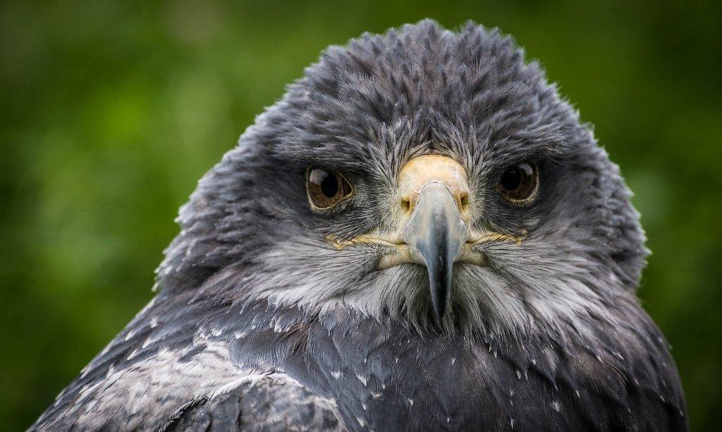 Kordilleren-Adler