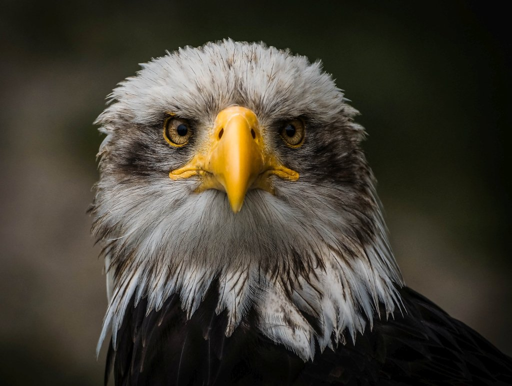 Weißkopfseeadler (Bald Eagle)